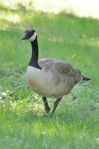 Branta candadensis (Canada goose)